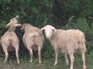 blog - sheep