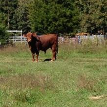bull-David's side